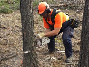 Photo of chainsaw operation with safety equipment